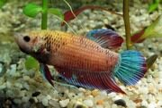 Betta splendens_female