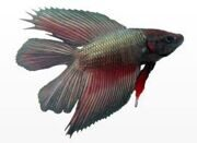 betta splendens double tail1